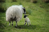 A Ewe and Newborn Lamb in Breascleit on the Isle of Lewis Photographic Print by Jim Richardson