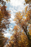 Looking Up at the Clouds from Within a Stand of English Oak Trees, Quercus Robur Photographic Print by Joe Petersburger