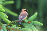 A Male Cedar Waxwing, Bombycilla Cedrorum, Perched on a Pine Tree Limb Photographic Print by George Grall