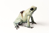 A Rare Mint Morph of the Golden Poison Dart Frog, Phyllobates Terribilis, with Tadpoles on its Back Photographic Print by Joel Sartore