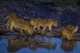 Lionesses and Cubs of the Vumbi Pride Drink from a Shrinking Waterhole Photographic Print by Michael Nichols