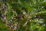 A Red Squirrel Peeks Out Through the Branches of an Evergreen Tree Photographic Print by Brian Gordon Green