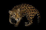 A Federally Endangered, Ten-Year-Old, Female Jaguar at the Dallas World Aquarium Photographic Print by Joel Sartore