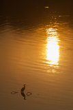 A Great Blue Heron Stands Silhouetted at Sunrise on the Occoquan River Photographic Print by Kent Kobersteen