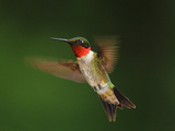 A Male Ruby-Throated Hummingbird, Archhilochus Colubris, in Flight Photographic Print by George Grall
