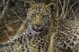 Close Up Portrait of Young Leopard, Panthera Pardus, Resting Photographic Print by Jonathan Irish