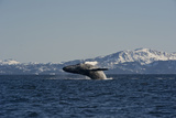 A Humpback Whale Breaching Off the Mountainous Coast of Alaska Photographic Print by Michael S. Quinton