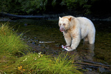 A Well Fed Spirit Bear Catching Female Salmon and Eating Only the Eggs Fotoprint van Jed Weingarten