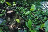 Bill Hatcher - A Three Toed Pygmy Sloth, Bradypus Pygmaeus, in a Mangrove Tree Fotografická reprodukce