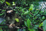 A Three Toed Pygmy Sloth, Bradypus Pygmaeus, in a Mangrove Tree Photographic Print by Bill Hatcher