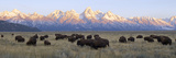 A Large Herd of Bison Moves across the Open Range of the Tetons Fotografisk tryk af Barrett Hedges