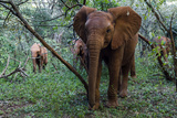 A Herd of Orphaned African Elephant Calves Exploring a Forest at a Wildlife Shelter Photographic Print by Jason Edwards