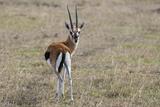 Portrait of a Grant's Gazelle, Gazella Granti, Looking at the Camera Photographic Print by Sergio Pitamitz