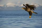 Portrait of a Juvenile Bald Eagle, Haliaeetus Leucocephalus, in Flight Photographic Print by Michael S. Quinton
