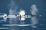 Killer Whales, or Orcas Swimming in Frederick Sound, Inside Passage, Alaska Fotografisk tryk af Michael Melford