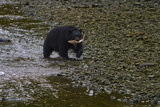 A Black Bear Carries a Salmon it Caught to Shore for a Meal Fotoprint van Jed Weingarten