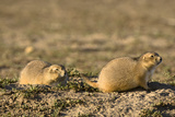 A Pair of Prairie Dogs, Cynomys Species, Sitting at the Entrance to their Burrow Photographic Print by Sergio Pitamitz