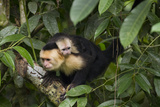 White Faced Capuchin Monkeys at Manuel Antonio National Park Photographic Print by Michael Melford