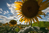 A Large Sunflower Stands Above the Rest in a Large Field Fotografisk tryk af Eric Kruszewski