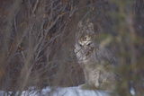 A Canadian Lynx, Lynx Canadensis, Looking Through Tree Branches Photographic Print by Michael S. Quinton