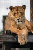 A Lioness with a Furrowed Brow Resting on a Platform at a Sanctuary for Big Cats Reprodukcja zdjęcia autor Steve Raymer