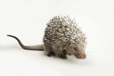 A Prehensile-Tailed Porcupine, Coendou Prehensilis, at Tampa's Lowry Park Zoo Photographic Print by Joel Sartore