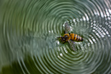 A Honey Bee Floating in Water Making Patterns, Apis Mellifera Photographic Print by Karine Aigner
