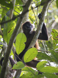 A Geoffreys Spider Monkey Sits in a Tree in Costa Rica Photographic Print by Jeff Mauritzen