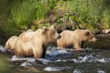 A Brown Bear Family Wades in a Stream in Katmai National Park Photographic Print by Matthias Breiter