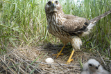 A Female Northern Harrier Hawk with a Chick and an Egg in Her Nest Photographic Print by Michael Forsberg
