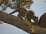 A Leopard Cub in a Tree Playing with its Mother's Tail Photographic Print by Beverly Joubert
