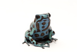 Morph of a Black and Green Poison Dart Frog, Dendrobates Auratus Photographic Print by Joel Sartore
