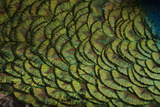 An Indian Peafowl, Pavo Cristatus, at the Lincoln Children's Zoo Photographic Print by Joel Sartore