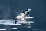 Killer Whales, or Orcas Leaping and Swimming in Frederick Sound, Inside Passage, Alaska Fotografisk tryk af Michael Melford