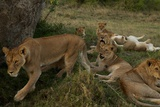 Lionesses and Cubs of the Vumbi Pride Rest in the Plains Photographic Print by Michael Nichols