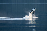 A Killer Whales, or Orca Leaping in Frederick Sound, Inside Passage, Alaska Photographic Print by Michael Melford