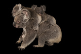 Federally Threatened Koala Joeys Cuddle with their Mother Photographic Print by Joel Sartore