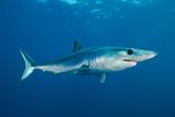 A Mako Shark in the Water Column at Cortes Bank Seamount Fotografisk tryk af Brian J. Skerry