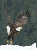 A Bald Eagle Takes Flight Near Petersburg, Inside Passage, Alaska Reproduction photographique par Michael Melford