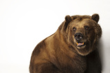 A Federally Threatened Grizzly Bear, Ursus Arctos Horribilis Photographic Print by Joel Sartore