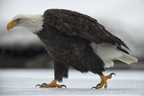 An American Bald Eagle Walking on the Ground During a Snow Shower Photographic Print by Peter Mather