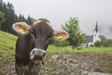 Close Up Portrait of a Cow in the Rain, with Saint Gerold Monastery in the Distance Photographic Print by Ulla Lohmann
