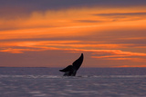 A Diving Whale's Tail Flukes Silhouetted on an Orange Sky at Sunset Photographic Print by Jed Weingarten