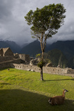 Llamas Resting and Grazing at the Ancient Inca Site, Machu Picchu Photographic Print by Diane Cook Len Jenshel