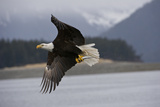 Portrait of a Bald Eagle, Haliaeetus Leucocephalus, Flying with a Herring in its Talons Photographic Print by Michael S. Quinton