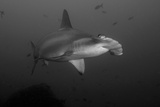 A Scalloped Hammerhead Shark, Sphyrna Lewini, Swimming Among Smaller Fish Photographic Print by Jeff Wildermuth