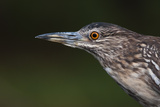 A Close Up Portrait of a Squacco Heron, Ardeola Ralloides Photographic Print by Sergio Pitamitz