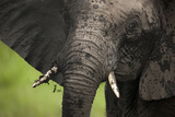 Close-Up of a Young Elephant Covered in Mud in the Lush Green Grass of Botswana Photographic Print by Beverly Joubert