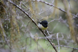 A Male Tomtit Perches on a Tree Branch in Fiordland National Park Photographic Print by Michael Melford
