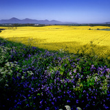 A Rape Field and Bluebells in County Down, Northern Ireland Photographic Print by Chris Hill